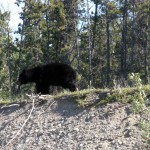 A black bear on the side of the road on the way to Atlin, BC